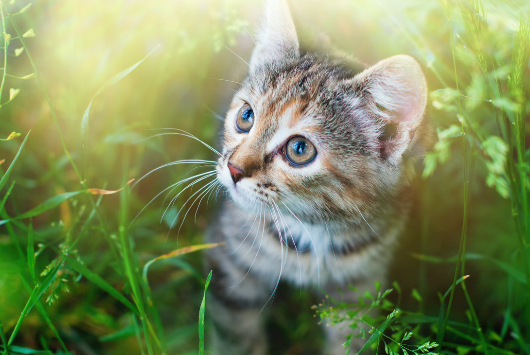Die Katzenminze