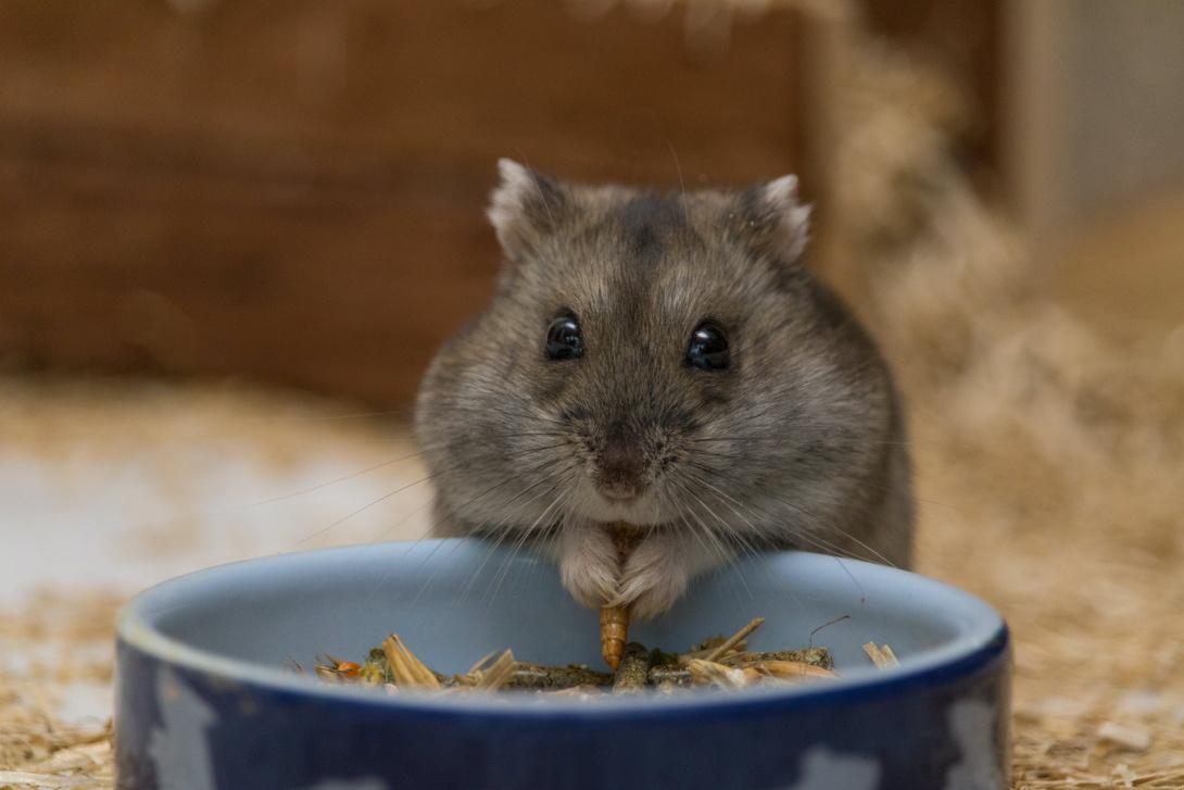 Trockenfutter für Hamster
