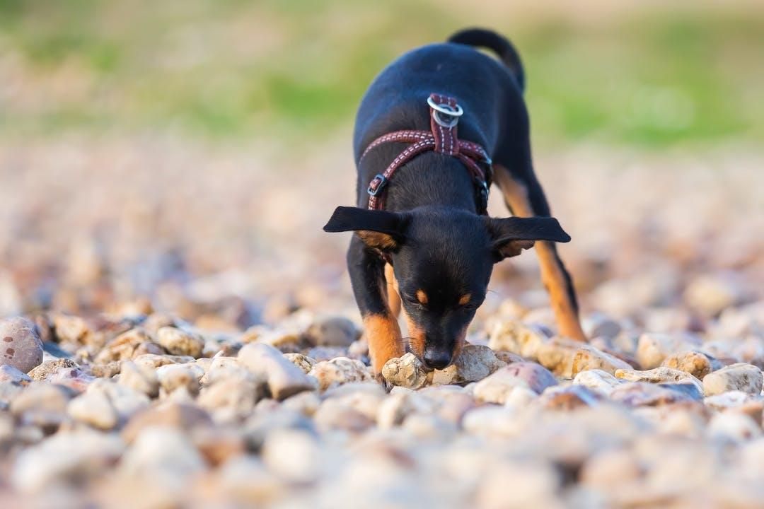 Hund frisst bei Spaziergang