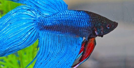Siamesische Kampffische im Portrait