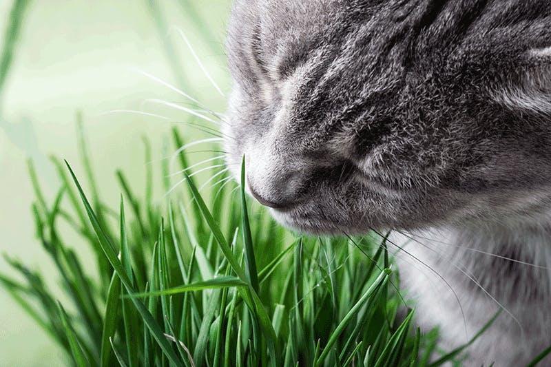 Katzengras als Nahrungsergänzung