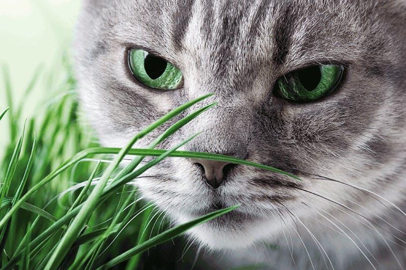 Katzengras aus Saatgut selbst ziehen