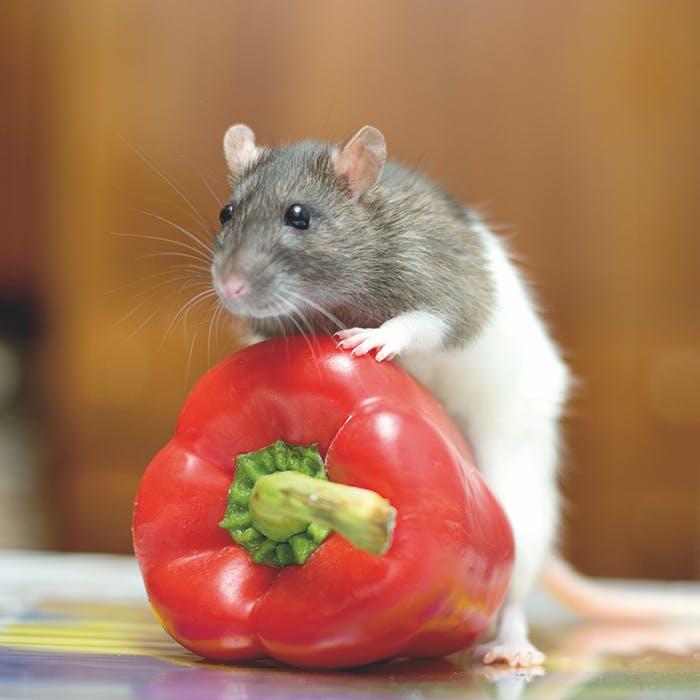 Ratte mit Paprika