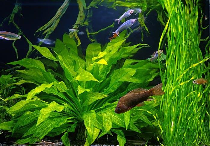 Neue Fische in das Aquarium einsetzten