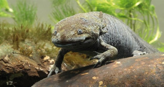 Der Axolotl im Portrait