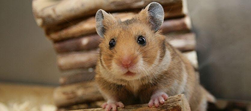 Das Laufrad für Hamster