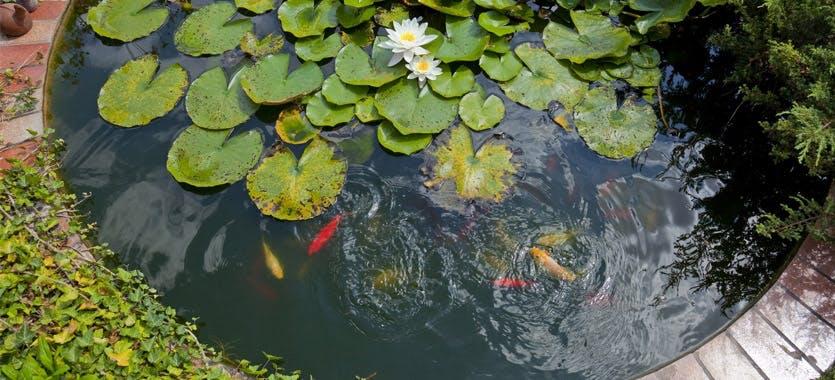 Neue Fische für den Teich
