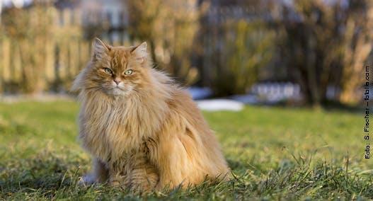 Fellwechsel oder Haarausfall bei Katzen