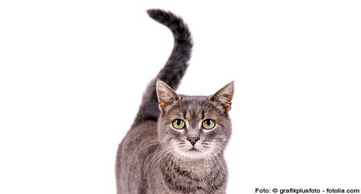 Schwanzwedeln bei Katzen