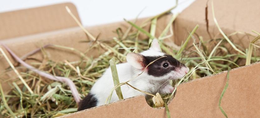 Die Reinigung des Mäusegeheges