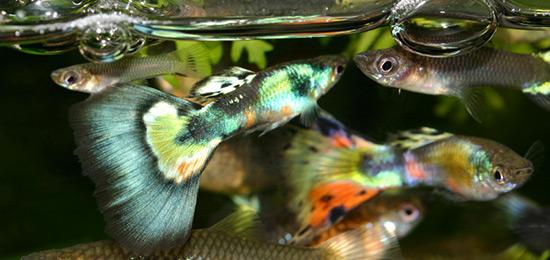 Fische für das Aquarium