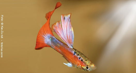Guppy, orange