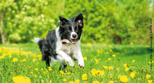 Agiler Hund