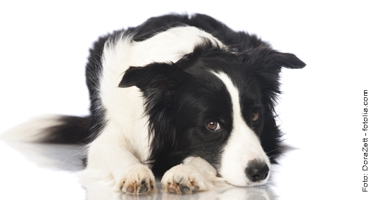 Border Collie liegt